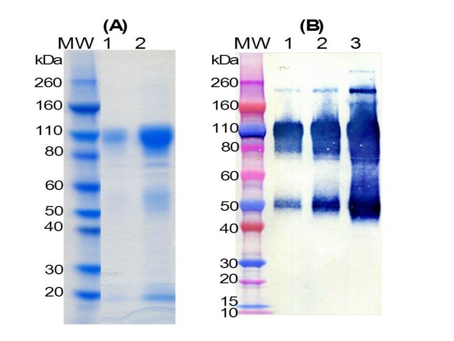 an analysis of the nature of spodoptera frugiperda clone 9 sf 9 cells
